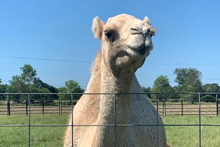 Caspar The Camel 2