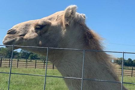 Caspar The Camel 1